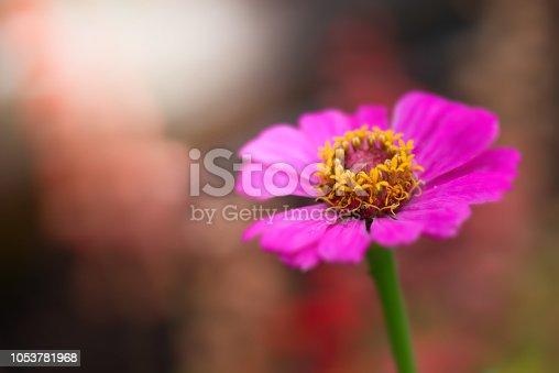Close up Pink Zinnia elegans flower or Common Zinnia stamens and pistil morning light, selective focus, Phuket, Thailand.