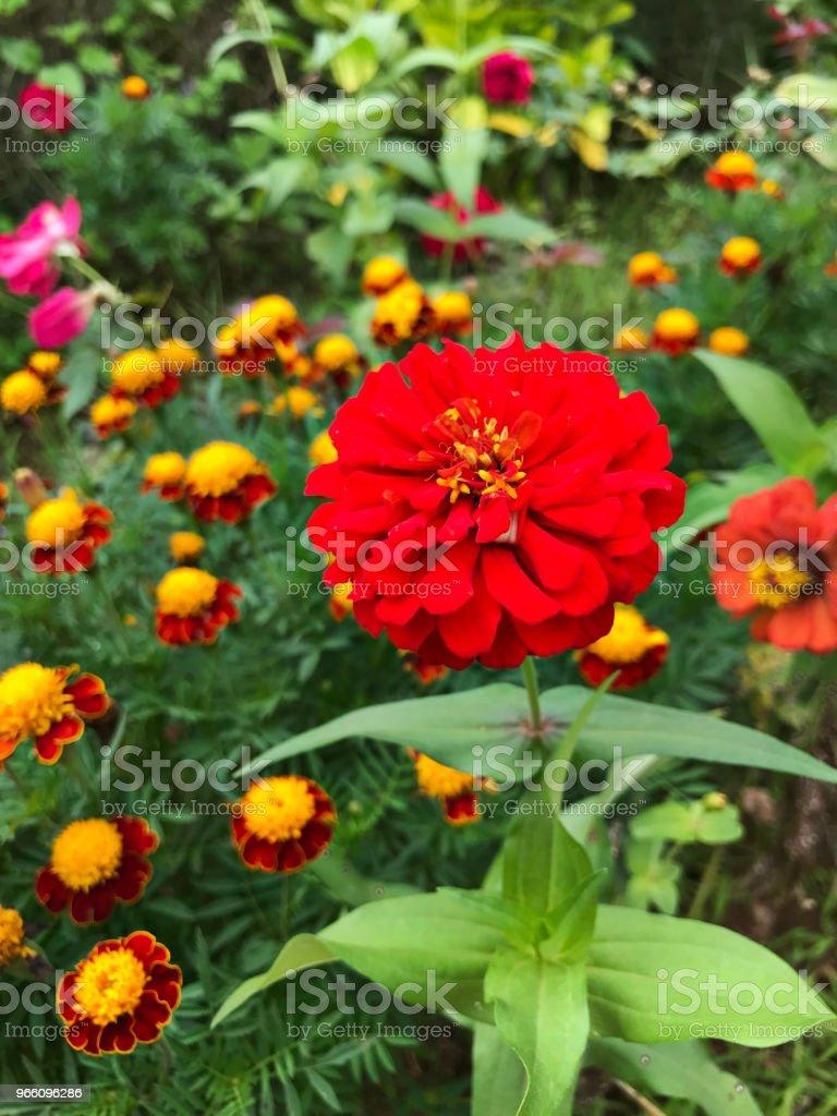 Zinnia elegans or Youth-and-age or Common zinnia or Elegant zinnia flower. - Стоковые фото Без людей роялти-фри
