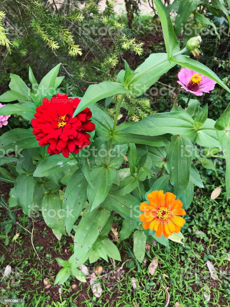 Zinnia Elegans oder Jugend und Alter oder gemeinsamen Zinnie oder Elegant Zinnia Blume. - Lizenzfrei Baum Stock-Foto