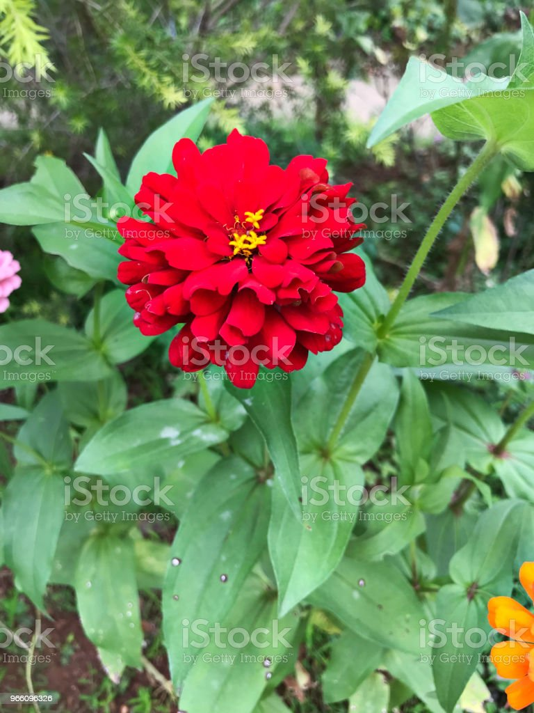 Zinnia elegans of jeugd-en-age of Common zinnia of elegante zinnia bloem. - Royalty-free Beschrijvende kleur Stockfoto