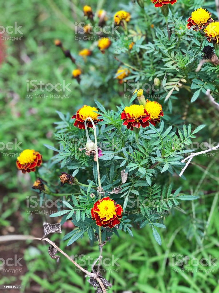 Zinnia elegans or Youth-and-age or Common zinnia or Elegant zinnia flower. - Royalty-free Biology Stock Photo