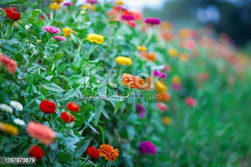 Colorful zinnia flower field