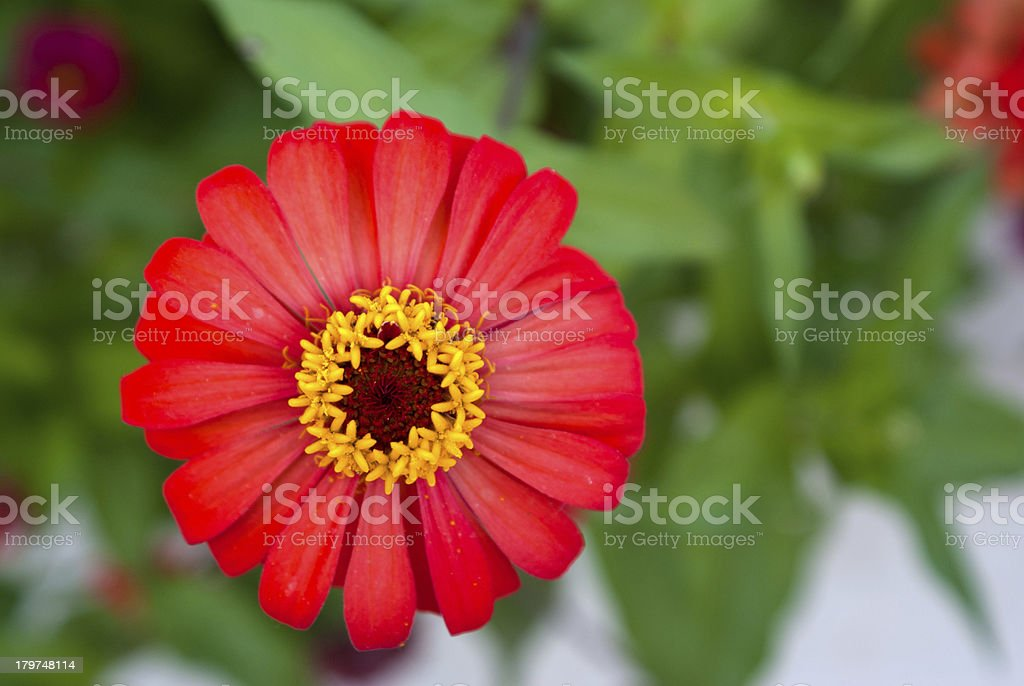 zinnia flower head royalty-free stock photo