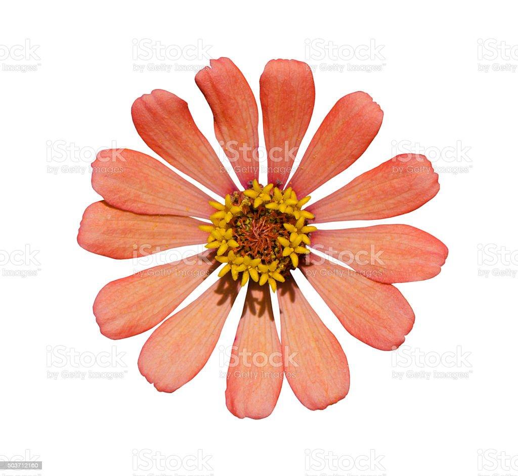 Zinnia flor sobre blanco - foto de stock