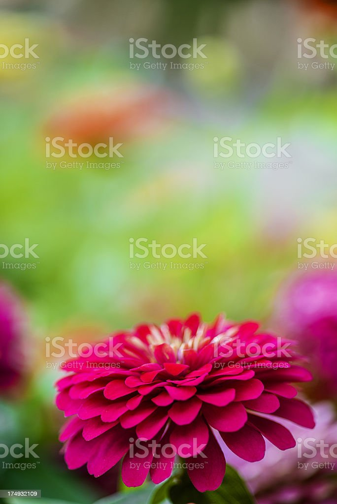 Zinnia flower royalty-free stock photo
