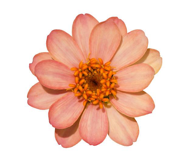 Zinnia flower picture id503496748?b=1&k=6&m=503496748&s=612x612&w=0&h=xe79a0h6h4u6de rp6 zikzfvhjusqvyqjxaapgizrc=