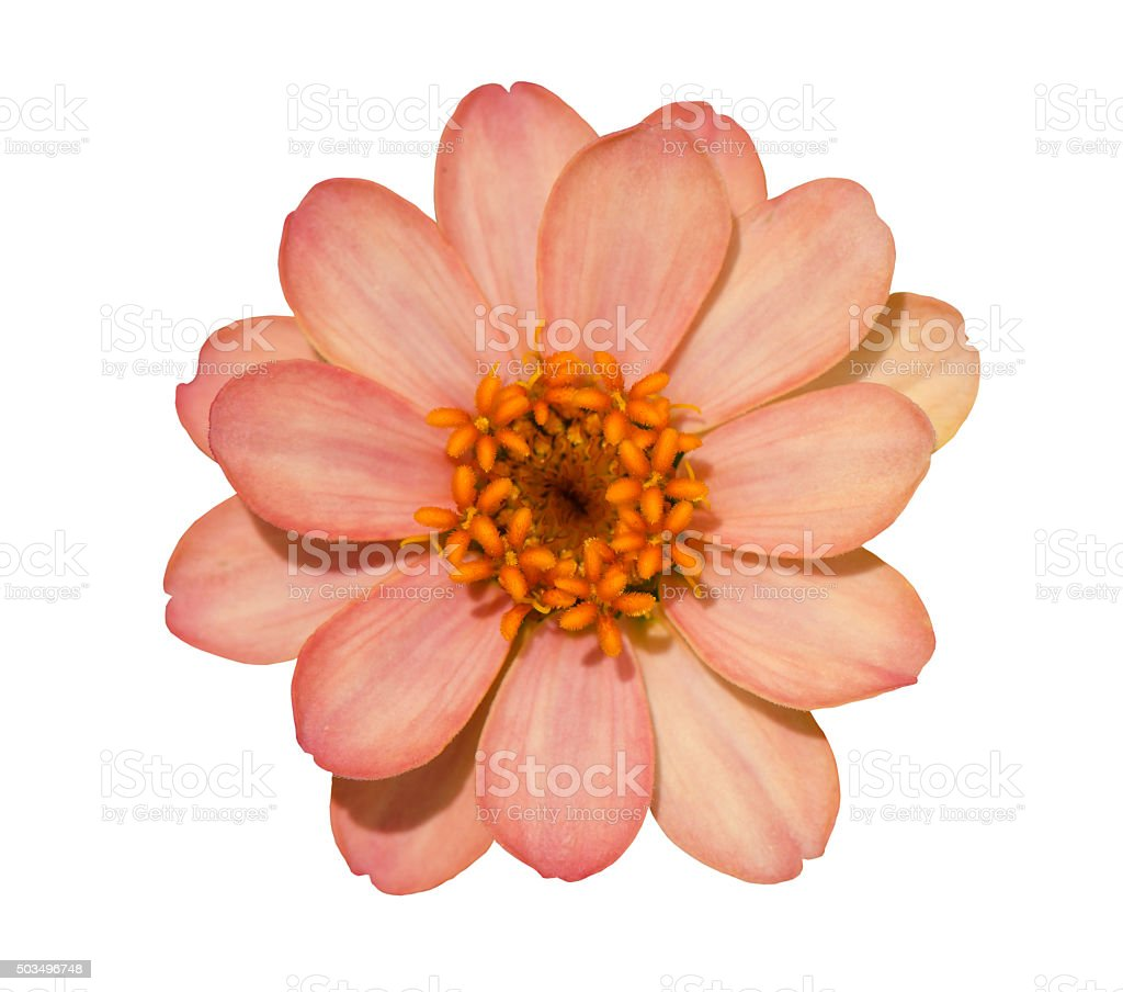 Zinnia flor - foto de stock
