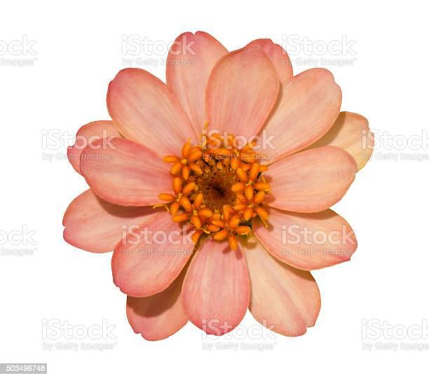 Photo of Zinnia flower