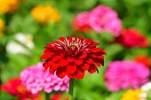 Zinnia is a genus of about 20 species of annual plants of daisy family. Zinnia has a bright, solitary, daisy-like flower-head on a single, erect stem and bloom in a wide variety of colors with large, mixed flowers.