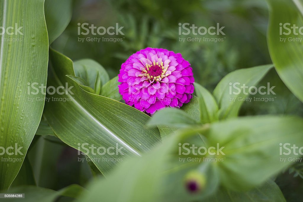 Zinnia flower with corn leafs royalty-free stock photo