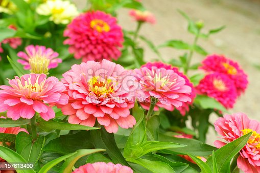 Garden bed planted with Zinnias
