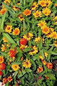 Beautiful zinnia flowers
