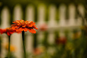 Close up, selective focus, photo of orange blooming Zinnia flower in front of a white picket fense.