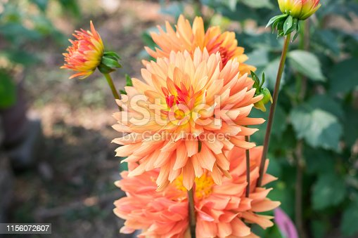Zinnia - Multi layer orange petal flower plant, a genus of sunflower tribe daisy family. A sun loving plant Blooms in winter spring and summer. Popular for bouquets. Copy space room for text.