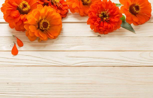 zinnia on wooden background orange zinnia on wooden background caenorhabditis elegans stock pictures, royalty-free photos & images