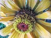 Beautiful zinnia flower