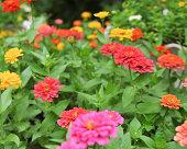 colorful zinnia in garden