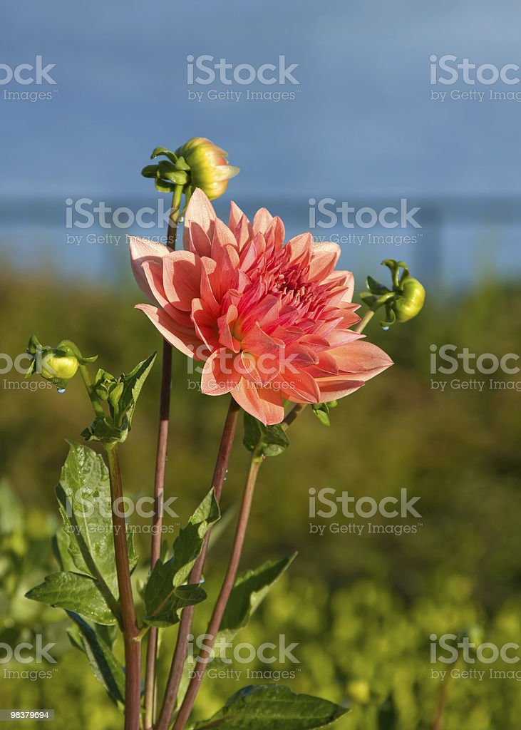 Zinnia royalty-free stock photo