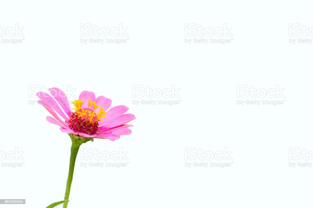 Zinnia pink bloom, Isolated on white background royalty-free stock photo