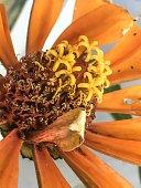 Colorful zinnia flower