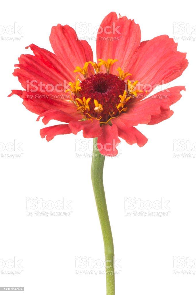 zinniaflower isolated on white stock photo