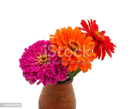 Zinnias are beautiful in a vase isolated on a white background.