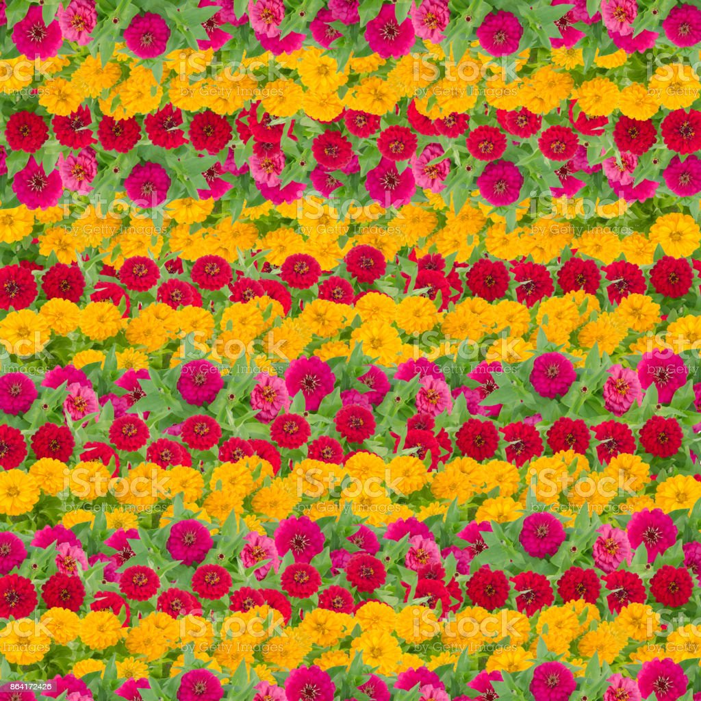 Zinnias flower background, Beautiful flower blooming with leaf royalty-free stock photo