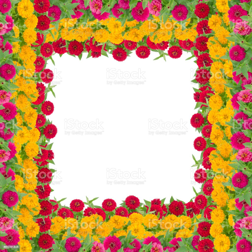 Zinnias flower frame isolated on white background, Beautiful flower blooming with leaf royalty-free stock photo