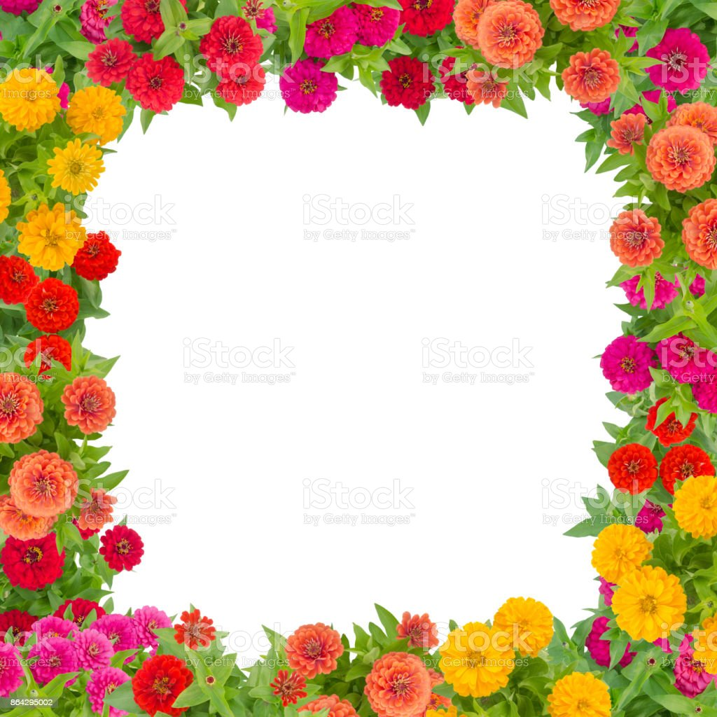 Zinnias flower frame isolated on white background, colorful flower blooming with leaf royalty-free stock photo