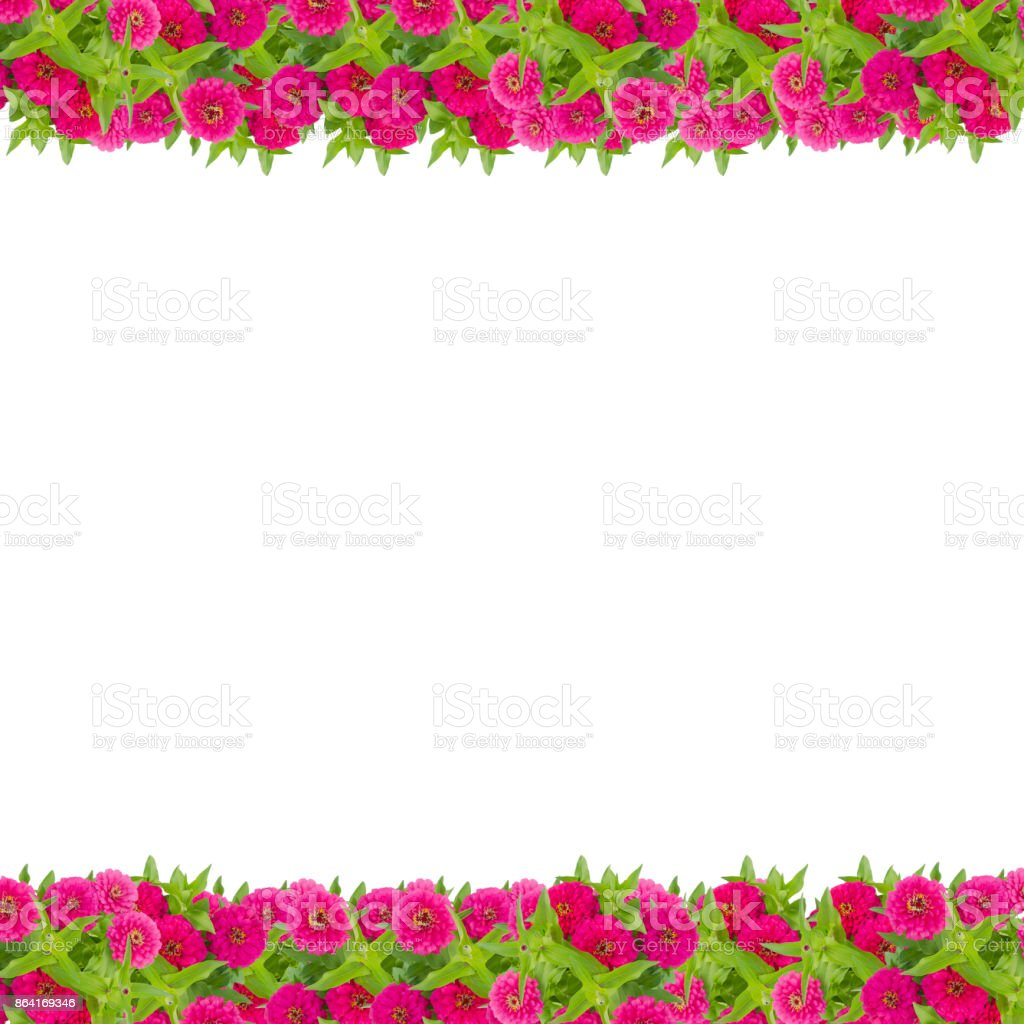 Zinnias flower frame isolated on white background, Pink flower blooming with leaf royalty-free stock photo