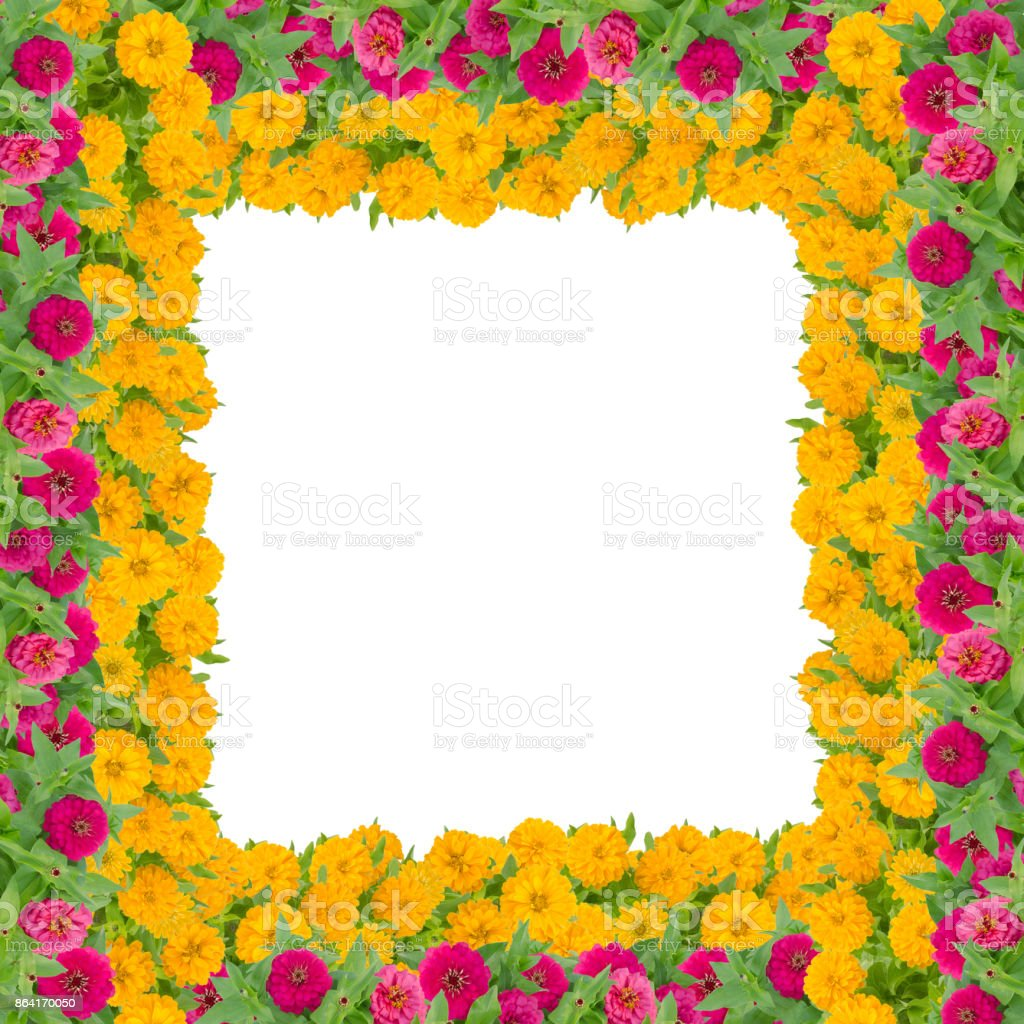 Zinnias Flower Frame Isolated On White Background Red And Yellow