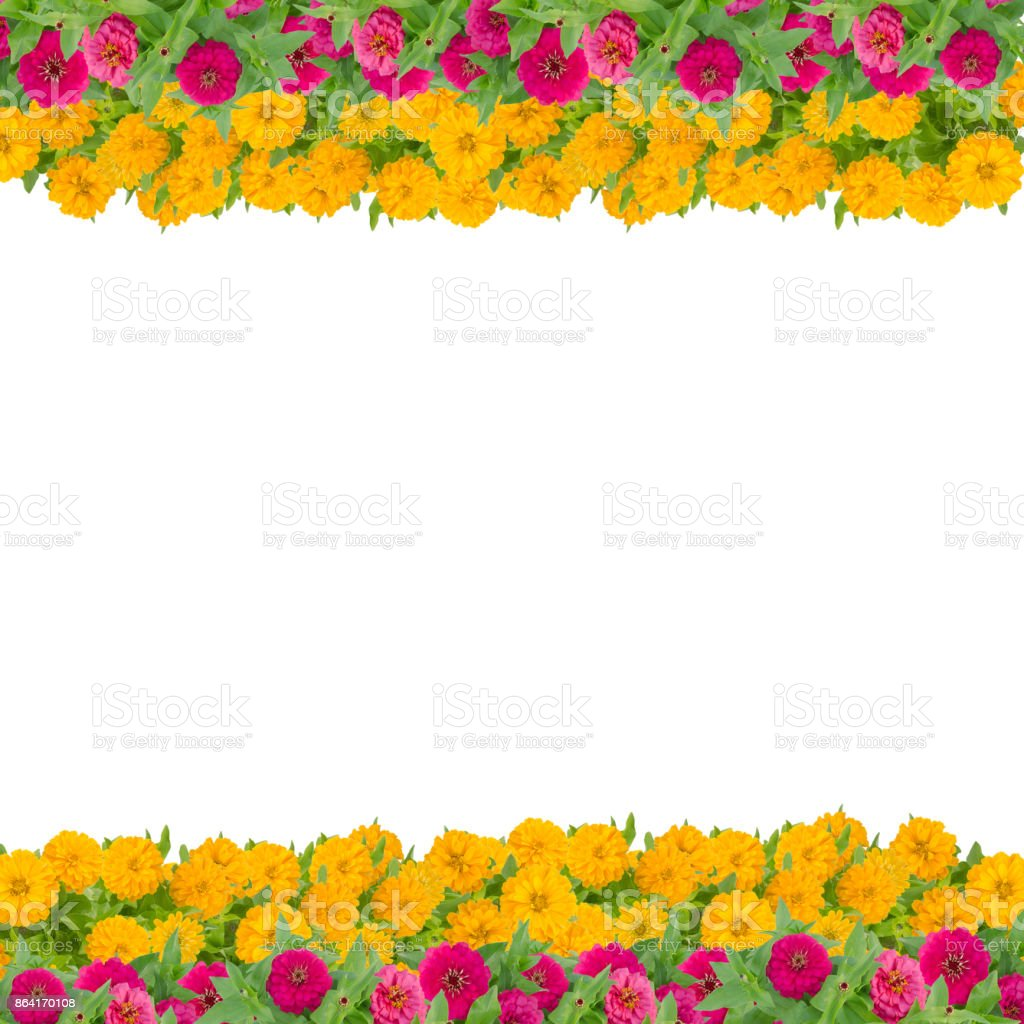 Zinnias flower frame isolated on white background, Red and yellow flower blooming with leaf royalty-free stock photo