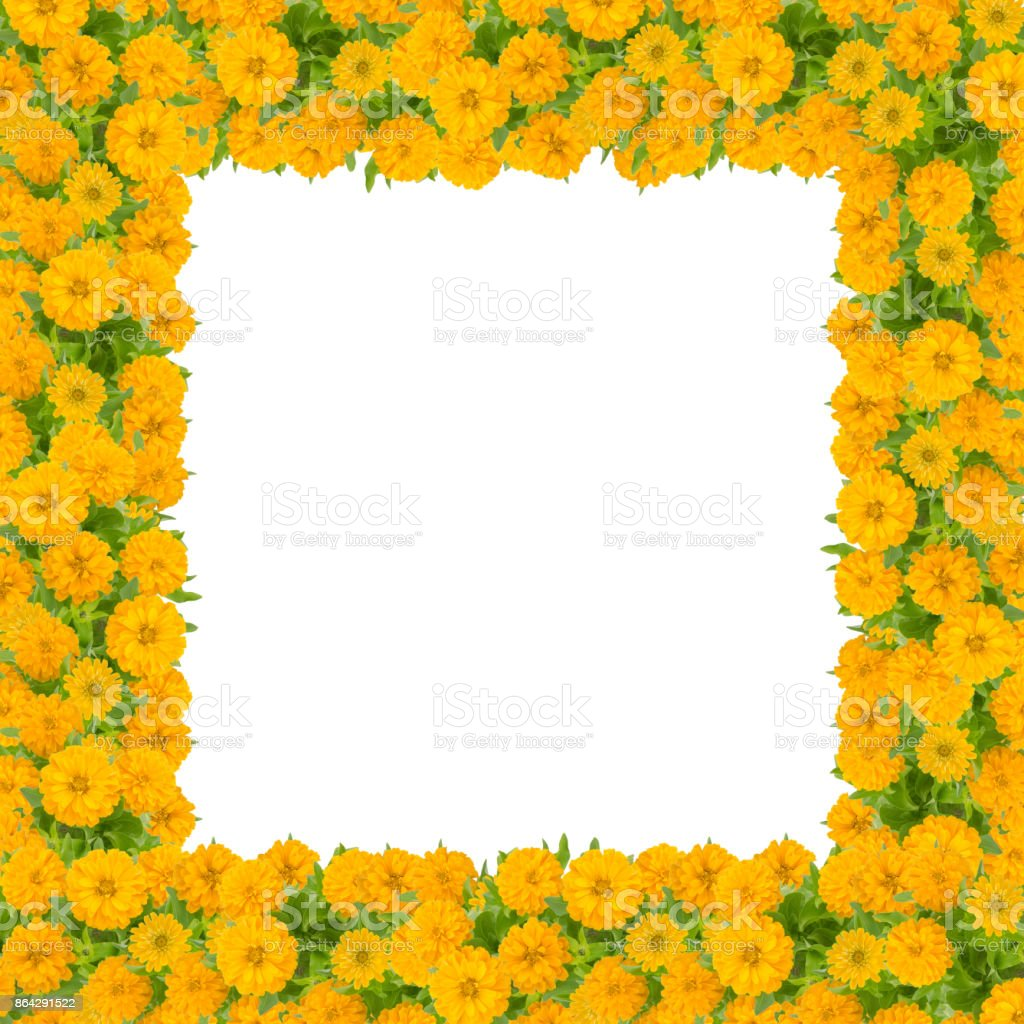 Zinnias flower frame isolated on white background, yellow flower blooming with leaf royalty-free stock photo