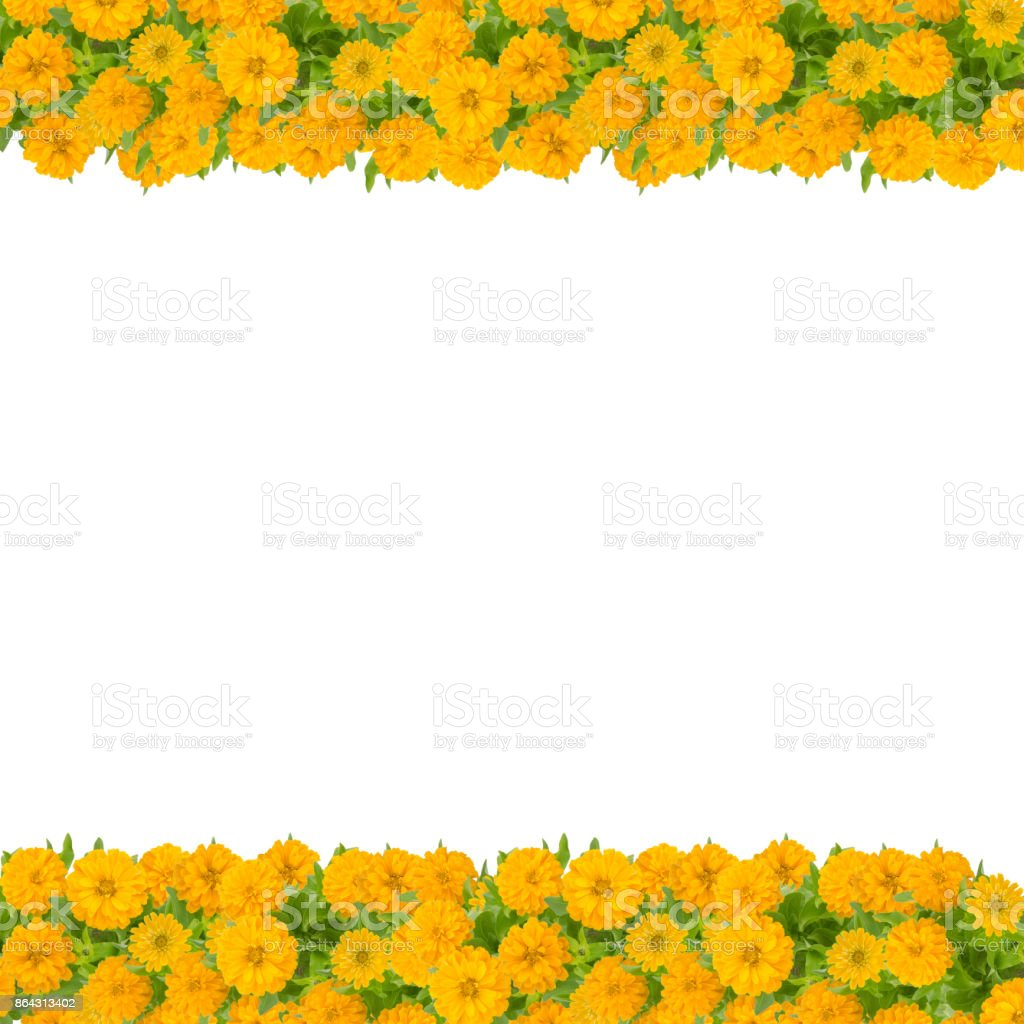 Zinnias Flower Frame Isolated On White Background Yellow Flower