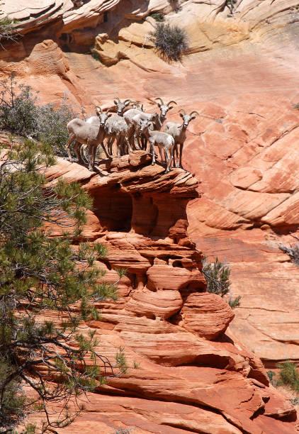 Zion Bighorn Sheep stock photo