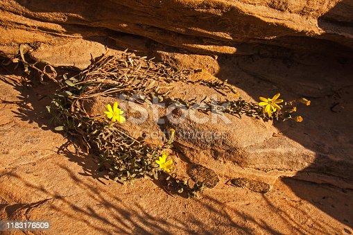 Zion golden Aster, (Heterotheca zionensis) on Nevada Sandstone in Zion National Park, Utah, USA,