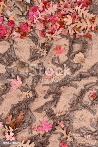 Beautiful fall color maple leaves freshly fallen into patterned mud.