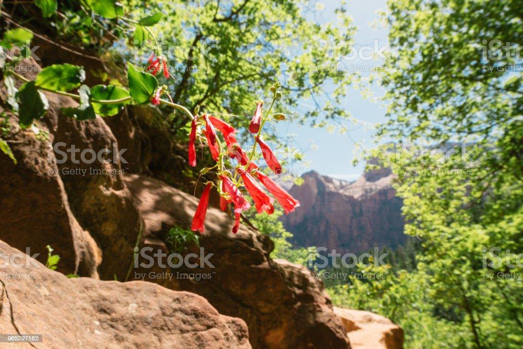 Zion National Park Spring Flowers on Hiking Trail Utah zbiór zdjęć royalty-free