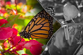 Zipper opens black and white image to reveal vivid colorful monarch butterfly