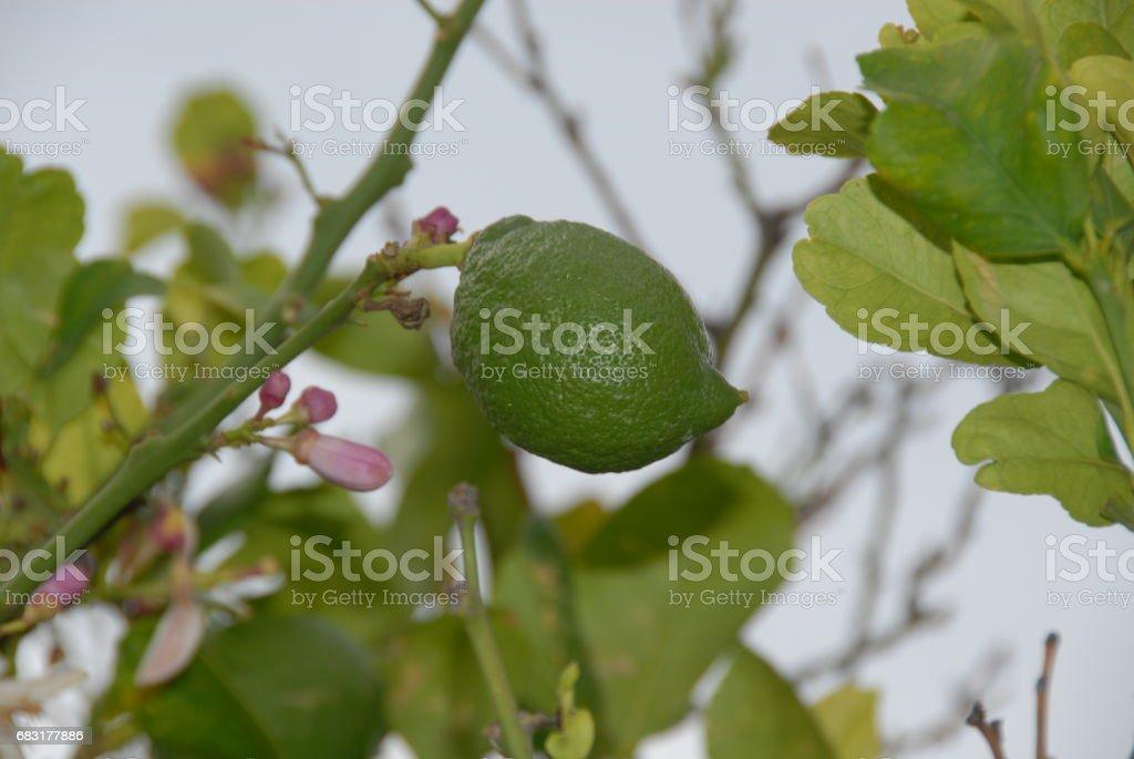 Zitronen am Baum in Spanien royalty-free 스톡 사진