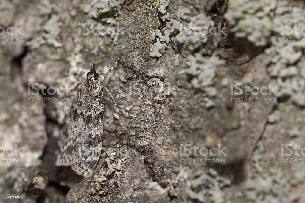 Zünsler (Scoparia pyralella) Tarnung royalty-free stock photo