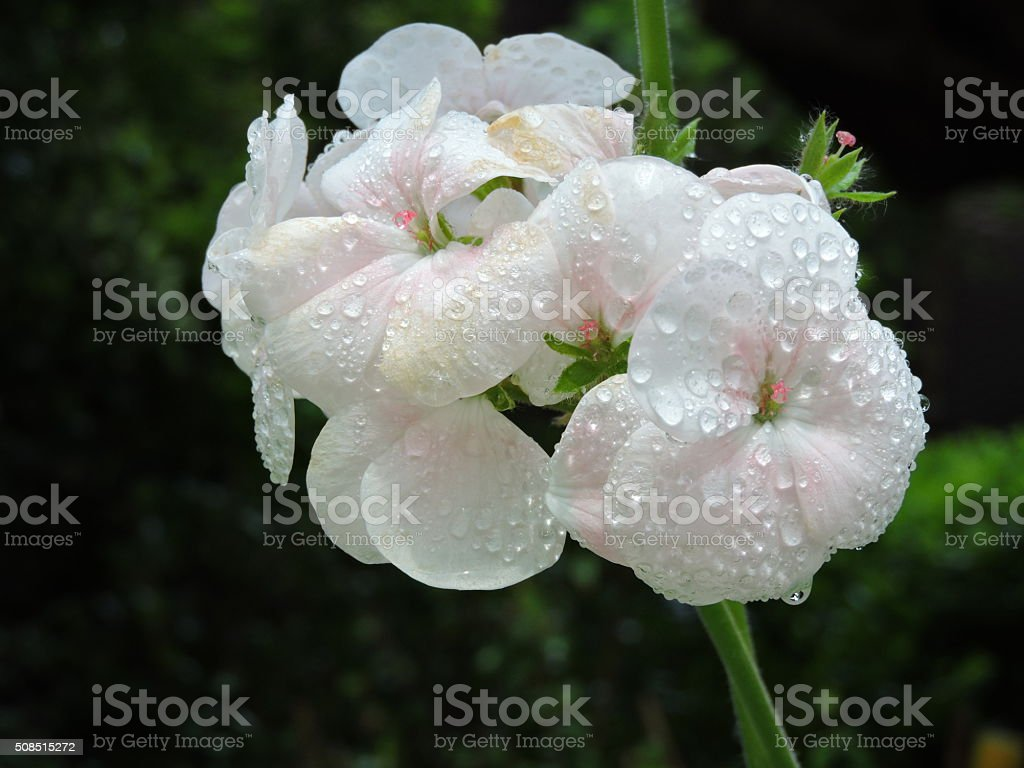 Zonal Geranium flowers with water drops stock photo
