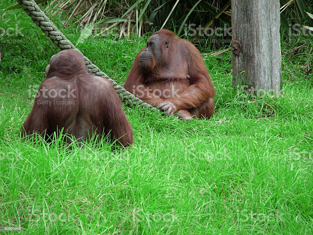 Zoo 1: Orangatans royalty-free stock photo