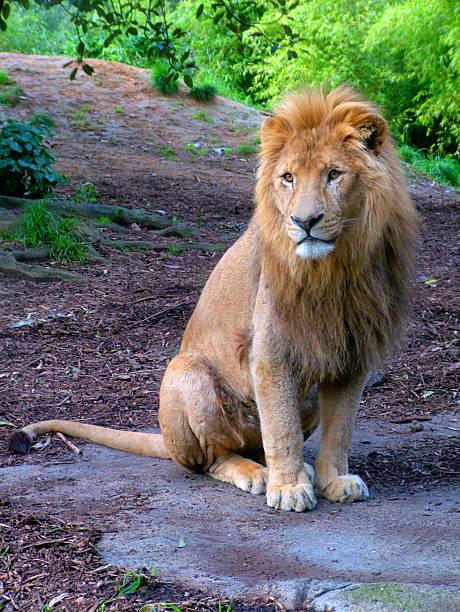 Zoo 2 - Lion stock photo