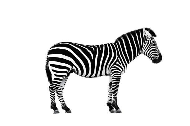 zoo single burchell zebra isolated - zebra stock photos and pictures