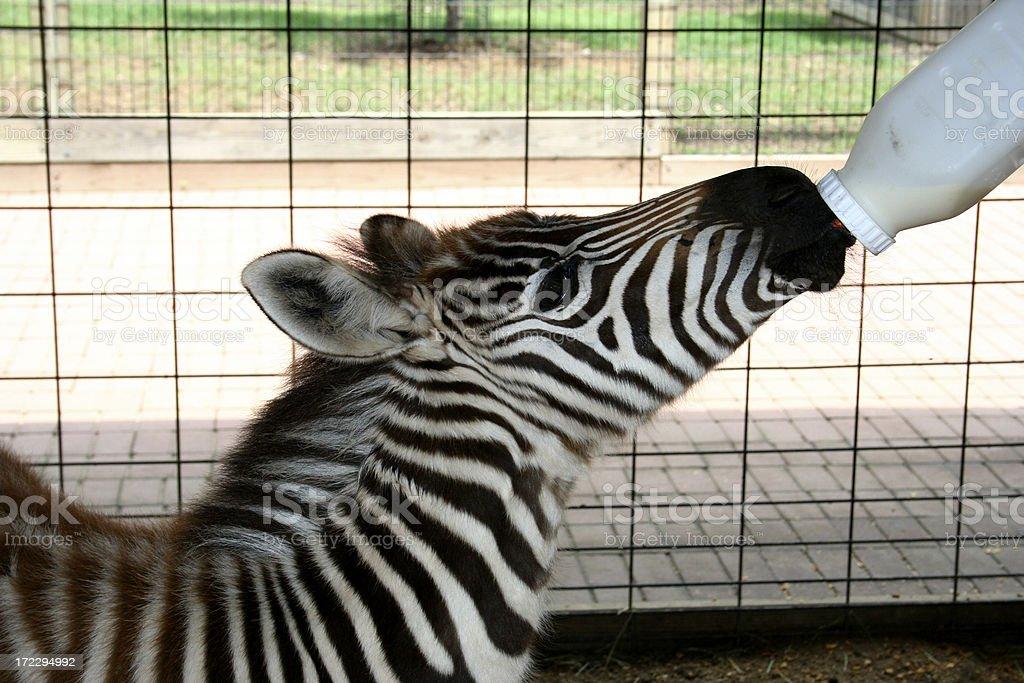 Zoo : Zebra feeding royalty-free stock photo