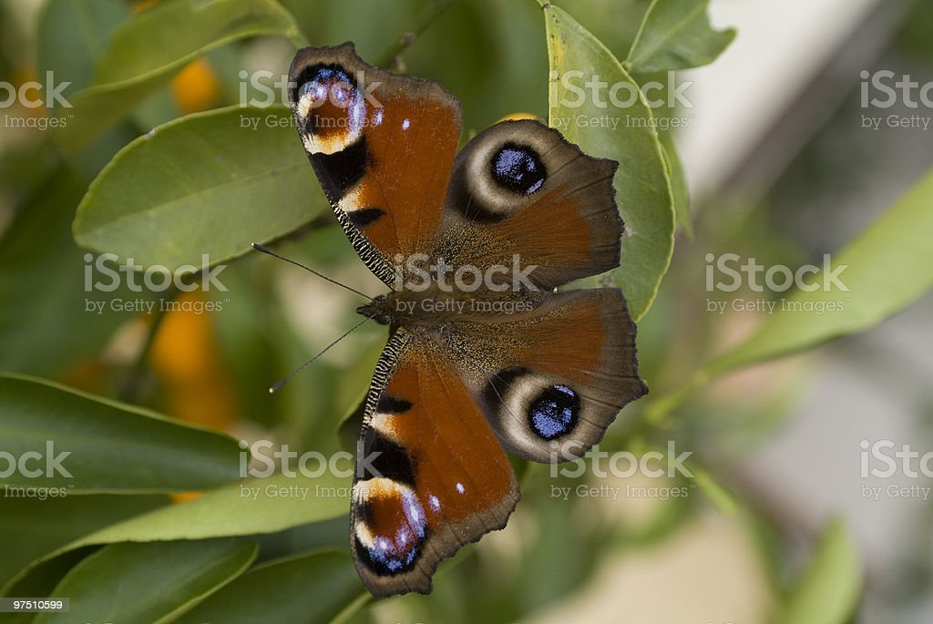 Zoology, Butterfly royalty-free stock photo