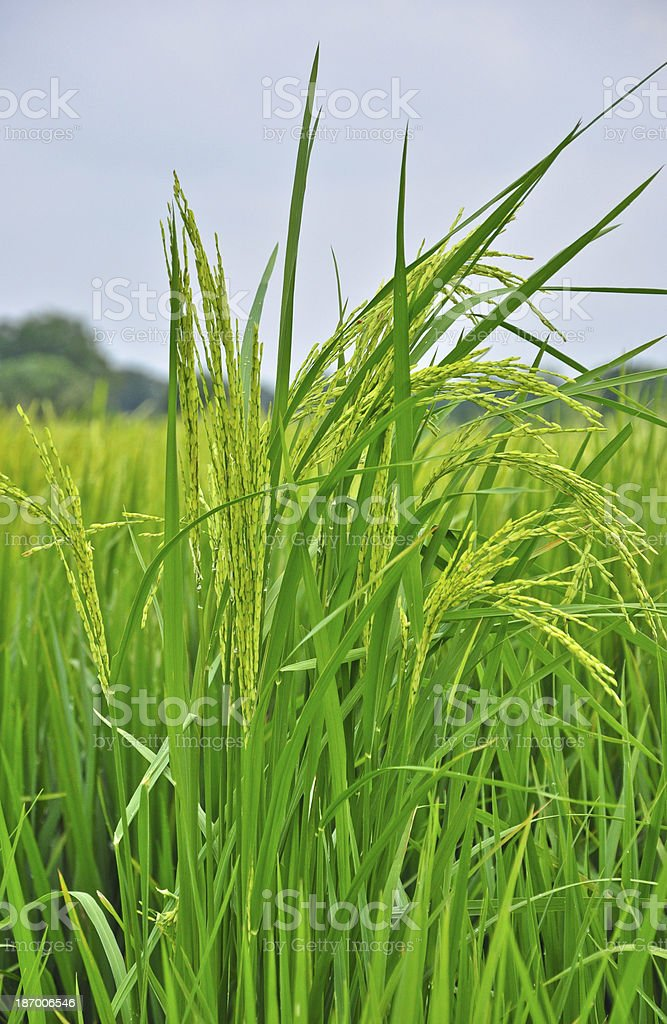 zoom paddy rice royalty-free stock photo