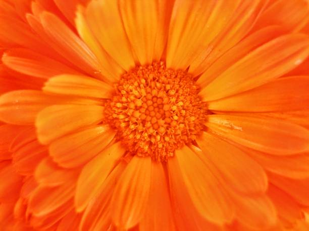zoom up of orange calendula flowers - single flower stock pictures, royalty-free photos & images