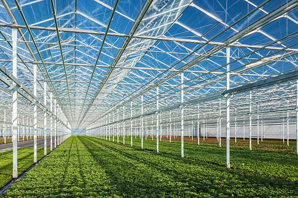 geranie pflanzen im gewächshaus - gartenbau betrieb stock-fotos und bilder